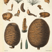 Cedar atlas