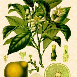 AROMARA -Bergamot