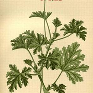 AROMARA -Geranij
